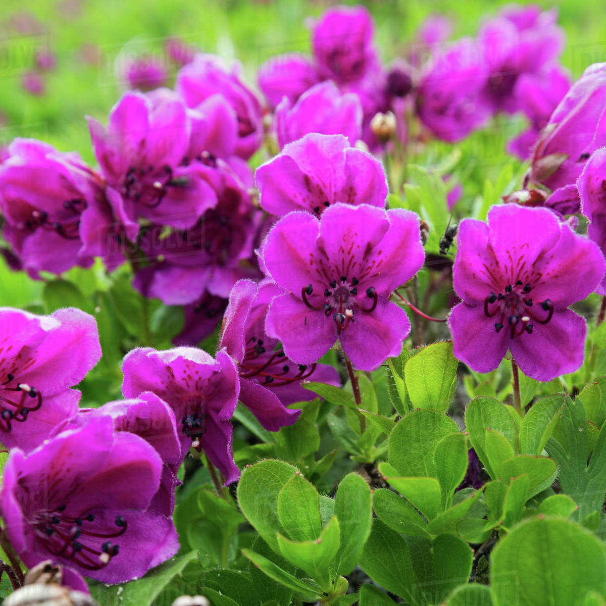 Beautiful flora of Kamchatka Peninsula: wild alpine purple flowers Rhododendron Camtschaticum in summer season. Eurasia, Russian Far East, Kamchatka Region. Royalty-free stock photo
