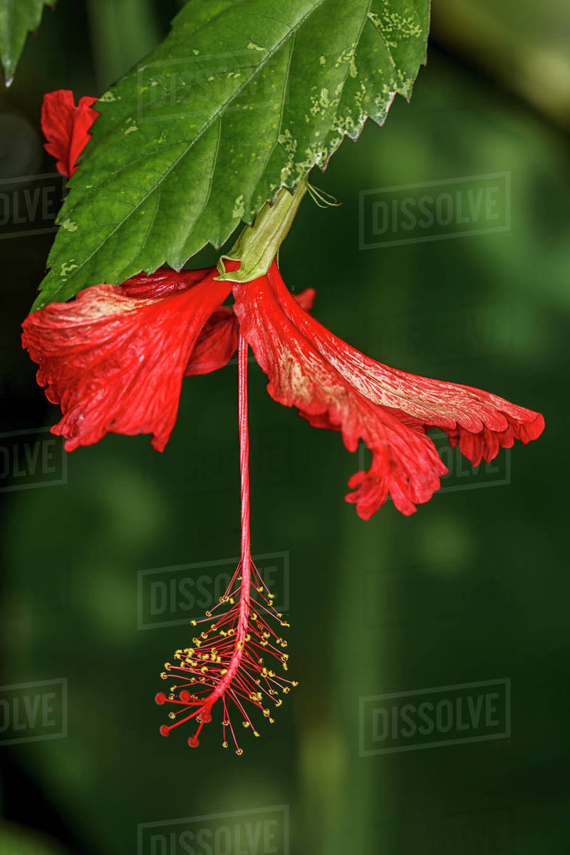 A bright red checkered hibiscus at the arboretum at Manito Park in Spokane, Washington Royalty-free stock photo