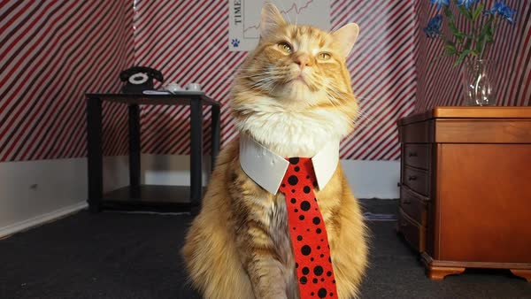 Close-up of cat wearing tie Royalty-free stock video