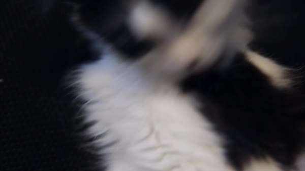 Close-up of a black and white kitten grooming itself. Royalty-free stock video