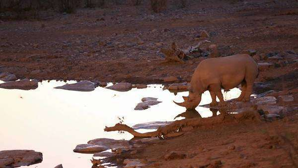 Front view of Rhino and baby with Hyena drinking water in