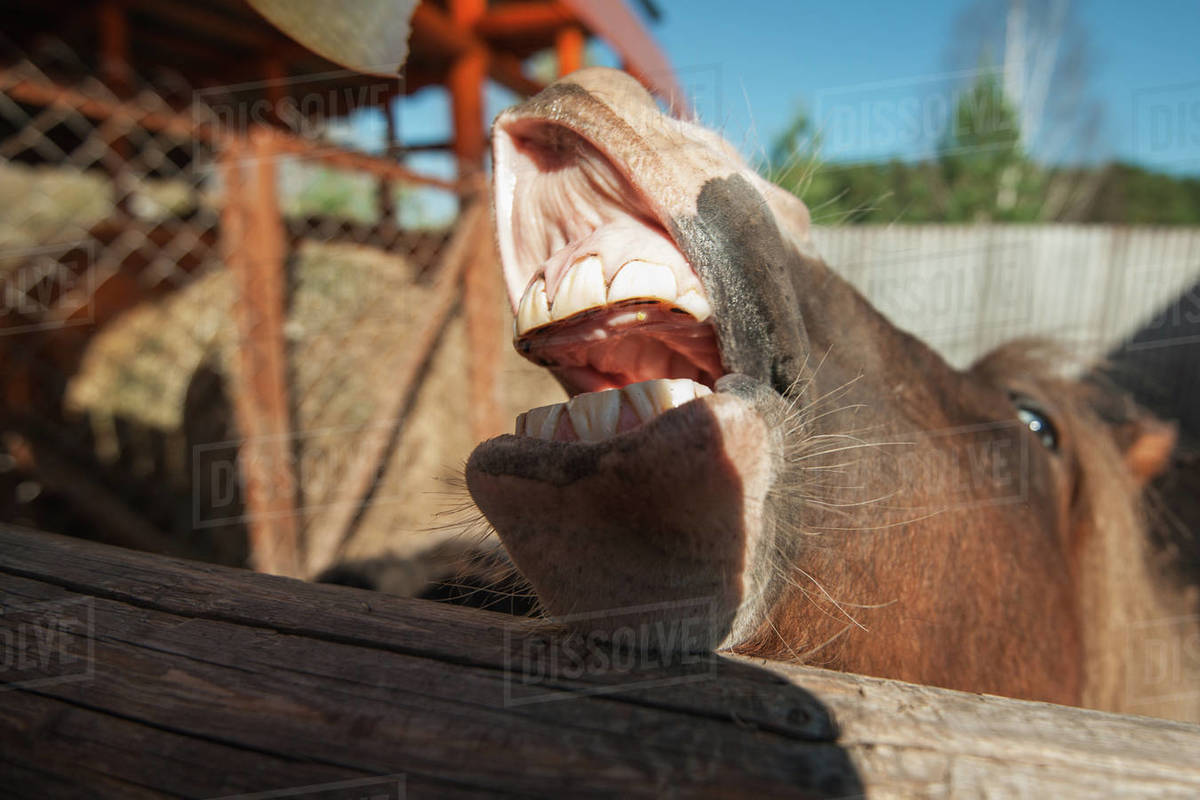 Funny Low Angle View Of Grinning Horse Mouth And Teeth Dirty Horse Teeth Concept Of Dentists Theme Stock Photo Dissolve