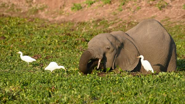 Cattle egrets (Bubulcus ibis) feeding on insects disturbed by a young African elephant (Loxodonta africana) Rights-managed stock video