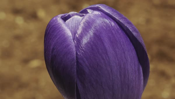 Timelapse footage of a crocus flower (Crocus sp.) opening, revealing its bright orange stamens. Rights-managed stock video
