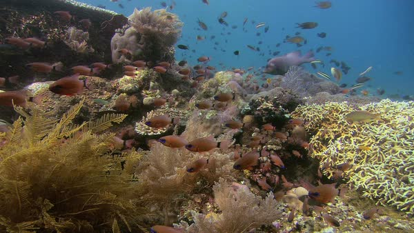 Reef scene with ring-tailed cardinalfish (Apogon aureus), Tulamben, Bali. Rights-managed stock video