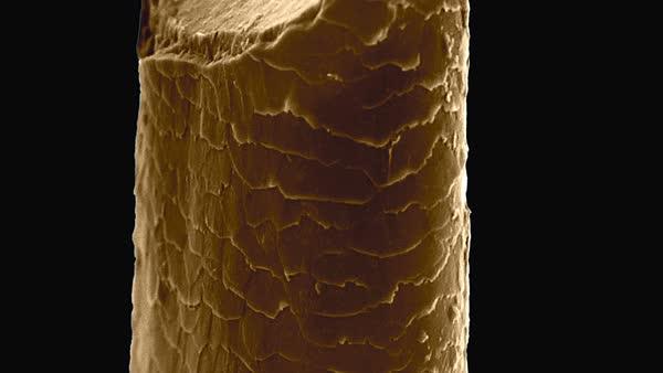 Human beard hair cut with a razor blade, animated coloured scanning electron micrograph (SEM). Rights-managed stock video