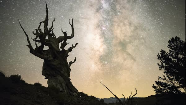Bristlecone pine and Milky Way. Time-lapse footage of regions of the Milky Way in the night sky over a bristlecone pine tree. Rights-managed stock video