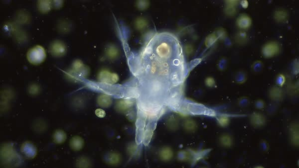 Nauplius larva of Cyclops copepod, light microscopy footage. Rights-managed stock video