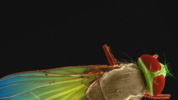 Animated coloured scanning electron micrograph (SEM) of House fly (Musca domestica). Rights-managed stock video