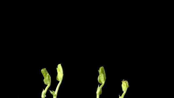 Timelapse footage of pea plants (Pisum sativum) growing. The sequence was filmed over a period of five days. Rights-managed stock video
