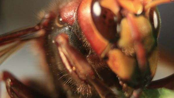 Close-up of the head of a European hornet (Vespa crabro). This large wasp has two compound eyes (brown) and three simple eyes (ocelli) between them (not seen), as well as two brown antennae. Rights-managed stock video