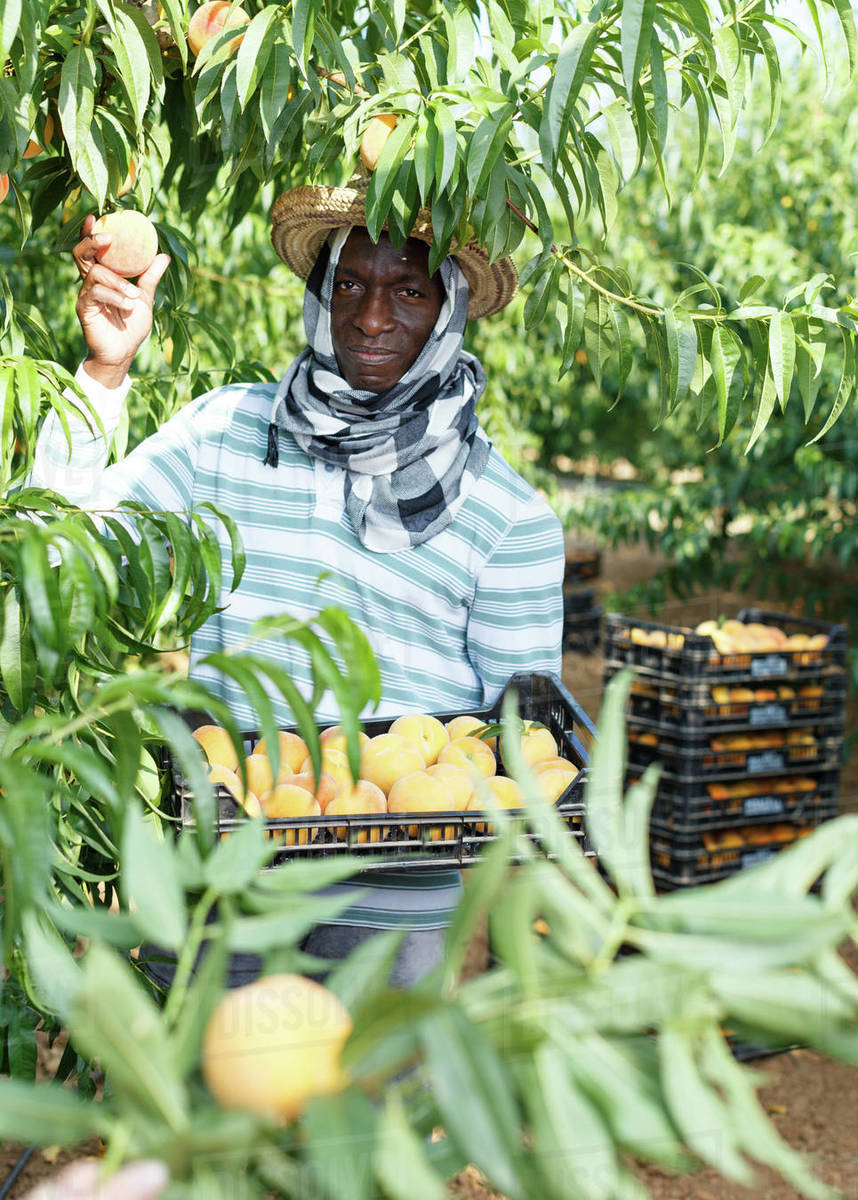 Successful male owner of orchard gathering harvest of ripe peaches on sunny day Royalty-free stock photo