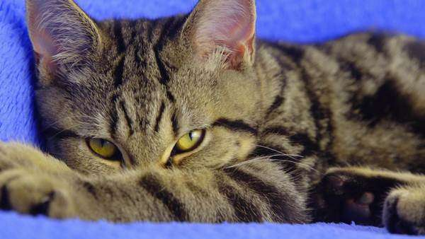 Black and brown British tabby cat looks into camera and licks paw Royalty-free stock video