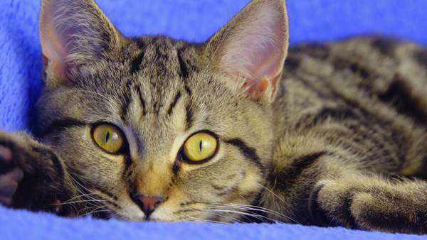 Black and brown British tabby cat with golden eyes look around Royalty-free stock video