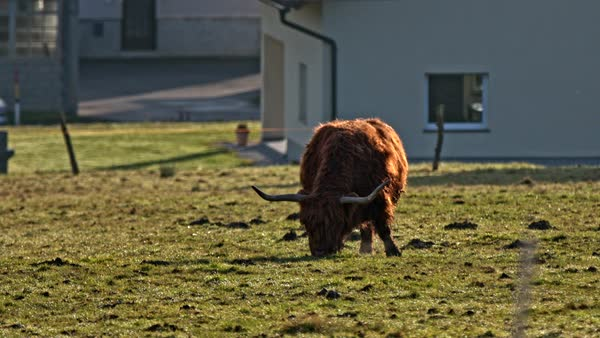 Hairy brown highland cattle feeding long shot. Static shot of Scottish cattle breed in focus lonesome on green lawn on a sunny day. Royalty-free stock video