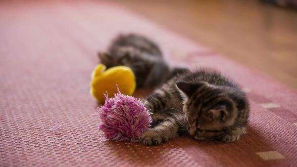 Two Playful Baby Kittens With Tassel Two Cute Baby Cats On Carpet Playing Little