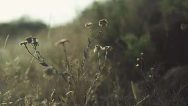 Follow focus shot of flowers swaying in a field Royalty-free stock video