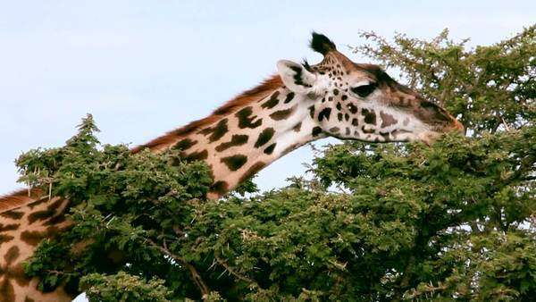Close up of a giraffe eating from the top of a tree Royalty-free stock video