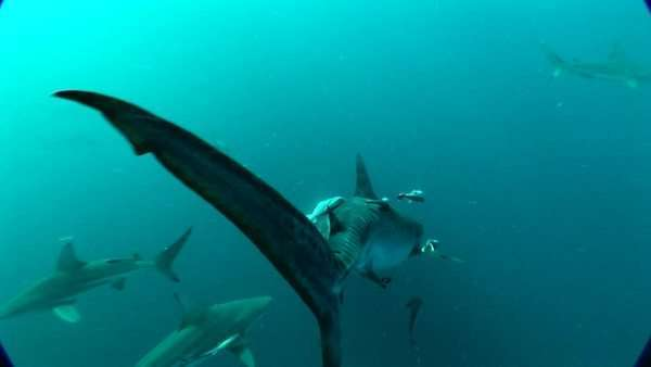 Close up of a Tiger Shark underwater Rights-managed stock video