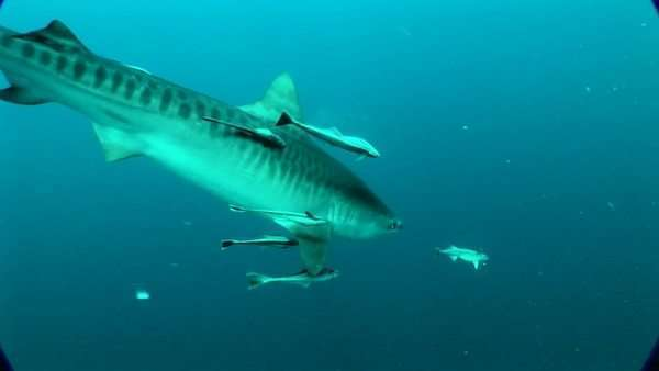 Handheld shot of a Tiger Shark underwater Rights-managed stock video