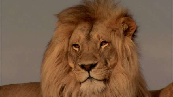 Close-up of a male lion Rights-managed stock video