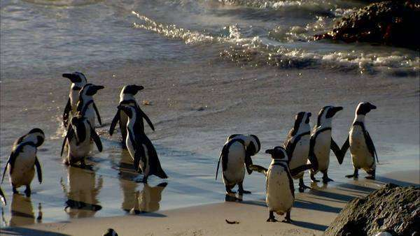 Handheld shot of African Penguins at Boulders Beach Rights-managed stock video