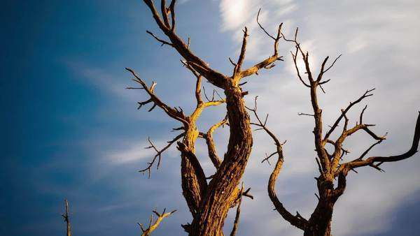 Pan, tilt and linear timelapse of an abstract dead Acacia Tree shooting up from a low angle against a blue sky with clouds moving past Royalty-free stock video