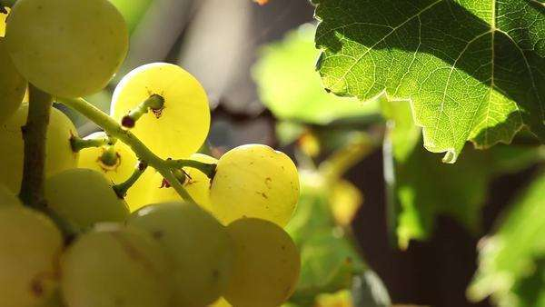 Close-up of grapes hanging from a vine Royalty-free stock video