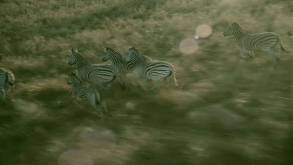 aerial wide angle shot herd of adult zebra and foal running together along brown grassy plain Rights-managed stock video