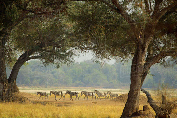 A herd of zebras roaming the plains of Mana Pools, Zimbabwe Royalty-free stock photo