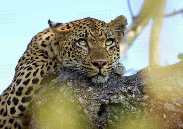 Close-up of a female leopard resting in a tree, Tamboti, South Africa Rights-managed stock photo