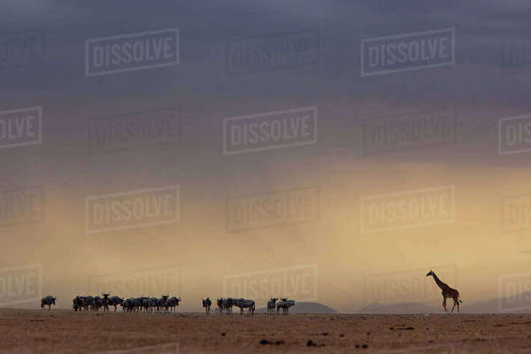 A lone giraffe and wildebeest in the distance, Kenya Rights-managed stock photo