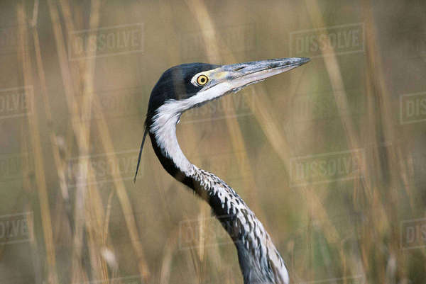 Portrait of Grey Heron Addo Elephant National Park Eastern Cape, South Africa Rights-managed stock photo