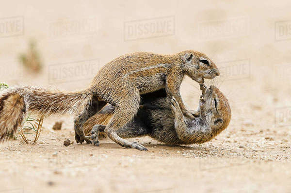 Two squirrels quarrel in the Kgalagadi Transfrontier Park Royalty-free stock photo