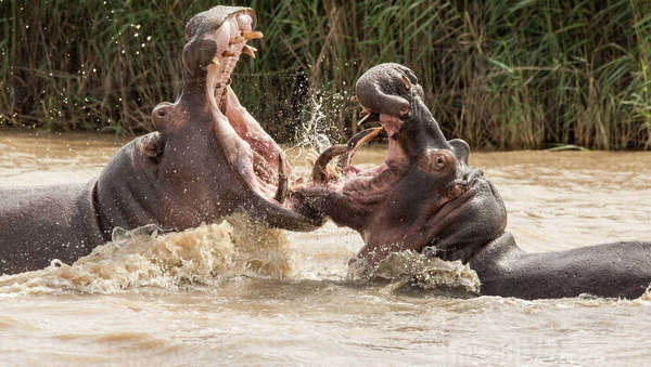 Two adult hippos fighting in the iSimangaliso Wetland Park in South Africa Royalty-free stock photo