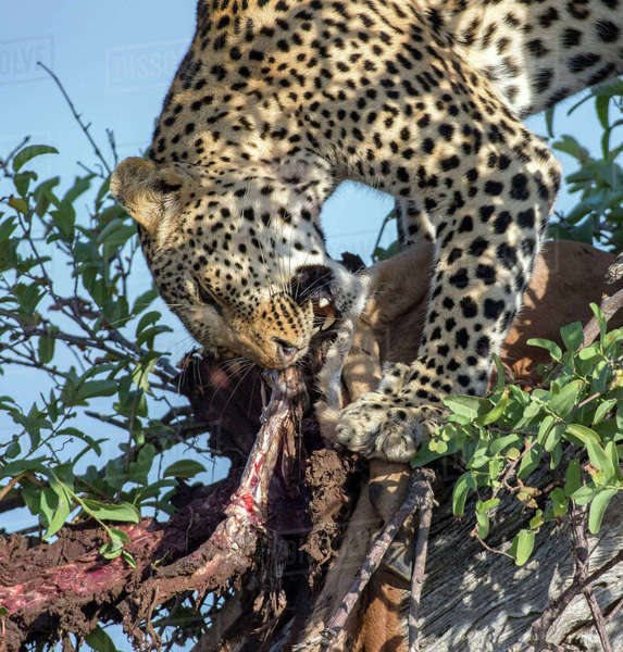 Leopard devours carcass Royalty-free stock photo