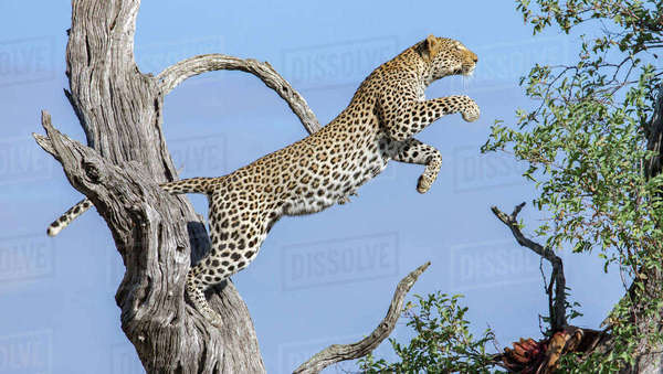Leaping Leopard Royalty-free stock photo