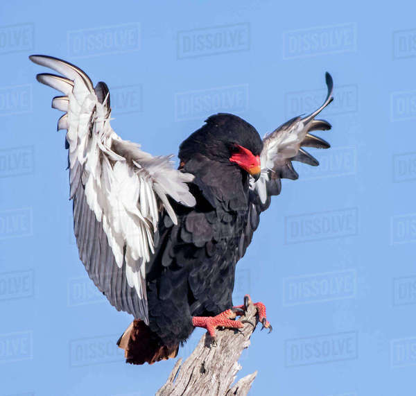 Portrait of a bateleur Royalty-free stock photo