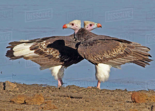Two white-headed vultures Royalty-free stock photo