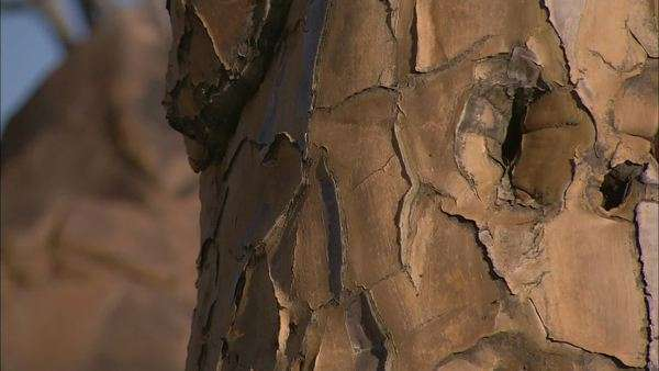 Tilting up close up of Baobab tree bark on trunk - Stock Video Footage -  Dissolve