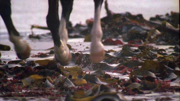Close up of horse's hoofs running through kelp on the beach Rights-managed stock video