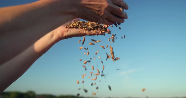 Hand-held shot of grain pouring from hand of a woman Royalty-free stock video