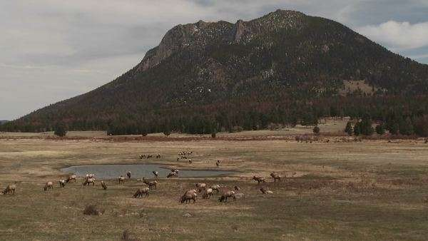 Elk grazing in a field in the distance in Yellowstone National Park Royalty-free stock video