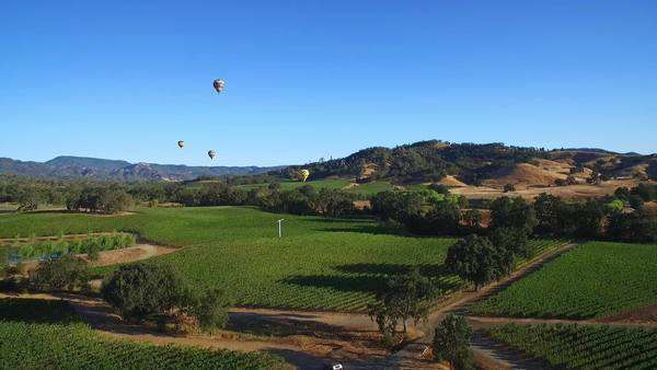 A low rising aerial over rows of vineyards in Northern California's Sonoma County with hot air balloons in distance. Royalty-free stock video