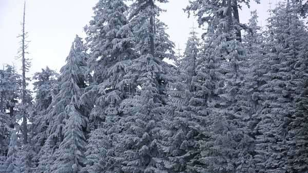 Beautiful pine trees are covered with frost in a forest. Royalty-free stock video