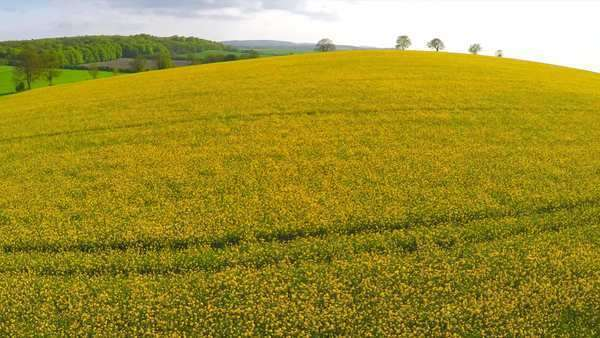 A beautiful aerial over yellow fields in England. Royalty-free stock video