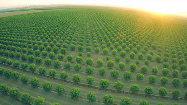 A beautiful aerial over a huge almond orchard in California at sunset. Royalty-free stock video