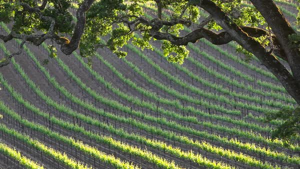 Telephoto shot of a vineyard in a wine growing region. Royalty-free stock video