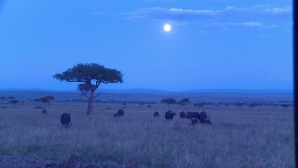A large herd of wildebeest roam a grassy plain in the moonlight in Africa at night. Royalty-free stock video