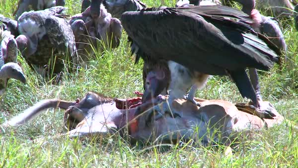 A flock of vultures rest after feasting on a carcass. Royalty-free stock video
